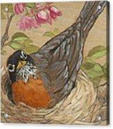 Nesting Robin Acrylic Print