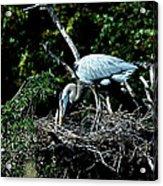 Nesting Season Acrylic Print