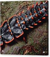 Net-winged Beetle  Borneo Acrylic Print