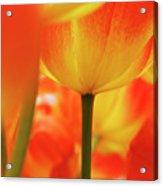 Netherlands, Macro Of Colorful Tulip Acrylic Print