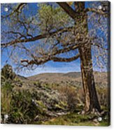 Nevada Cottonwood Acrylic Print
