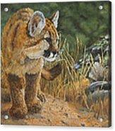 New Adventures - Cougar Cub Acrylic Print
