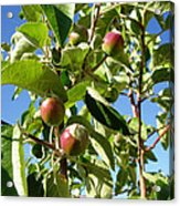 New Apples Acrylic Print