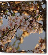 New Blossoms - Old Almond Tree Acrylic Print