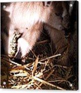 New Born Baby Goat Acrylic Print by Nickolas Kossup