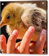 New Chick Acrylic Print