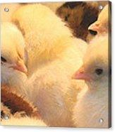 New Chicks Acrylic Print