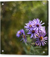 New England Asters Acrylic Print