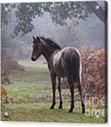New Forest Pony Acrylic Print