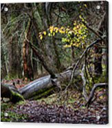 New Growth In An Old Forest Acrylic Print