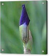 New Life Cycle Iris Bud Acrylic Print