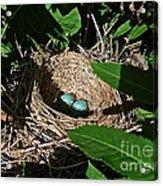 New Life - Robin's Nest Acrylic Print