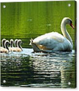 New Mute Swan Family In May Acrylic Print