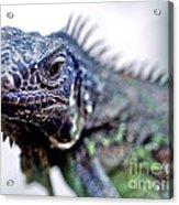 Close Up Beady Eyed Iguana Acrylic Print