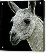New Photographic Art Print For Sale   Portrait Of  Llama Against Black Acrylic Print