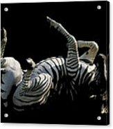Frolicking Zebra On Black Acrylic Print