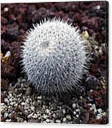 New Photographic Art Print For Sale White Ball Cactus Acrylic Print