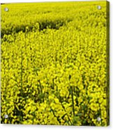 New Photographic Art Print For Sale Yellow English Fields 4 Acrylic Print