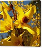 New Season - Old Friend  ... Forsythia In Springtime Acrylic Print