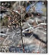 New Spring Buds Acrylic Print
