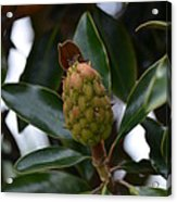 New Start Magnolia Acrylic Print