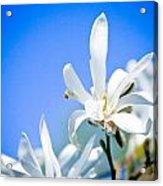 New White Magnolia Blossom Acrylic Print