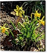 New Yellow Flowers 1 Acrylic Print