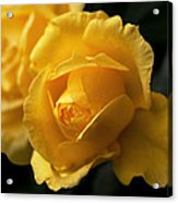 New Yellow Rose Acrylic Print
