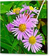 New York Asters In Flower's Cove-newfoundland Acrylic Print
