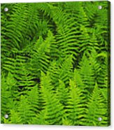 New York Ferns Acrylic Print