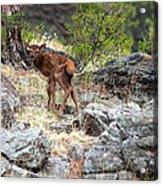 Newborn Elk Calf Acrylic Print