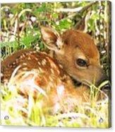 Newborn Fawn Acrylic Print