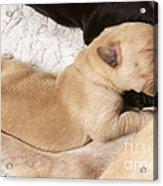 Newborn Labrador Puppy Suckling Acrylic Print