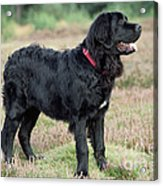 Newfoundland Dog, Standing In Field Acrylic Print