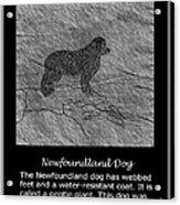 Newfoundland Dog Vintage Sketch Acrylic Print