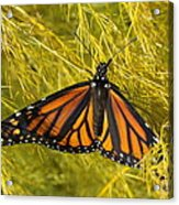Newly Hatched Acrylic Print