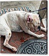 Newsworthy Dog In French Quarter Acrylic Print