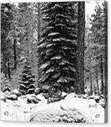 Next Season Christmas Trees Acrylic Print