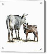 Nguni Cow and Calf 2 Acrylic Print