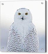 Nh Seacoast Snowy Owl  Acrylic Print