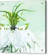 Nigella Damascena 'double White'  Acrylic Print