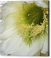 Night Blooming Cereus Cactus Acrylic Print