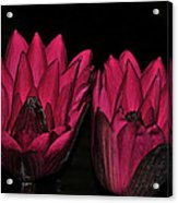 Night Blooming Lily 2 Of 2 Acrylic Print