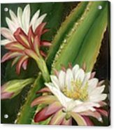 Night Cereus Acrylic Print by Summer Celeste