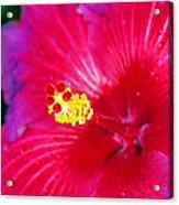 Night Fire Hibiscus Acrylic Print