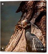 Night Heron And Crawdaddy Acrylic Print