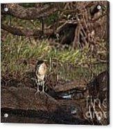 Night Heron At Corroboree Billabong Acrylic Print