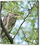 Night Heron Pictures 10 Acrylic Print