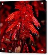 Night Of Glistening Red Salvia Acrylic Print