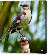 Nightingale Acrylic Print